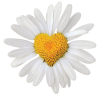 Daisy flower with heart centre