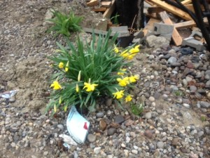 DaffodilInGravel2