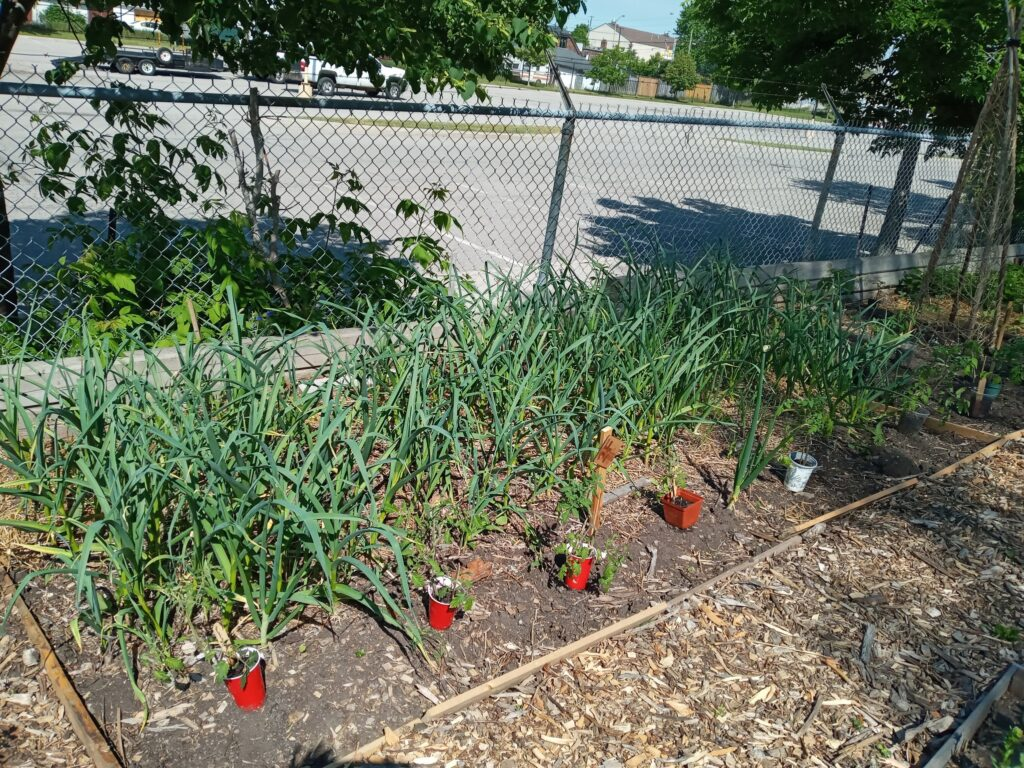 community garden  garlic